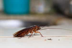 Traitement anti cafards et blattes
