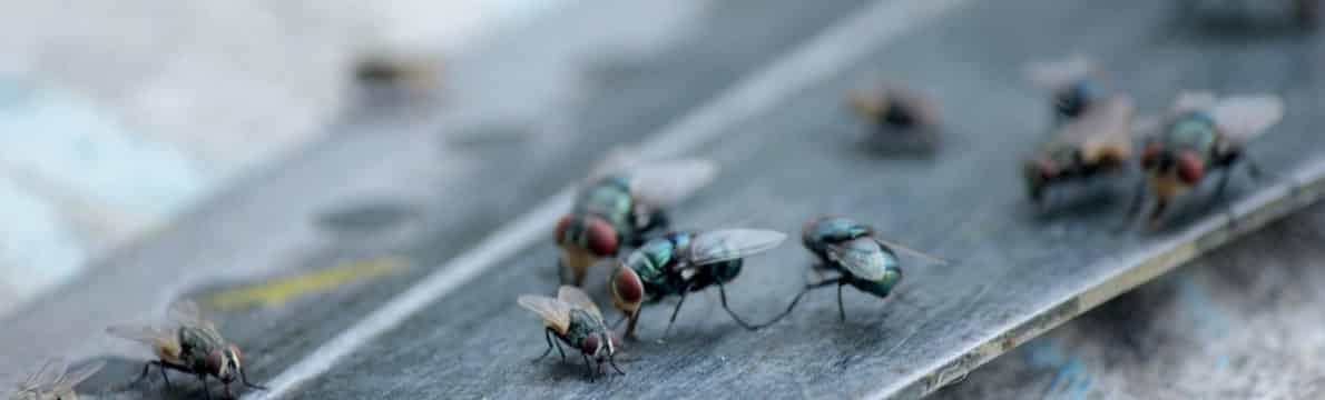 logement infesté de mouches