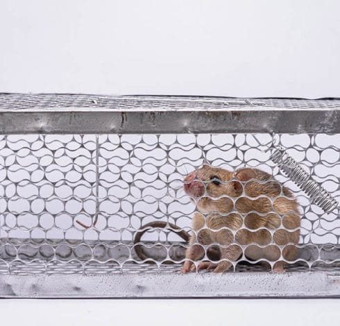 Rat en cage
