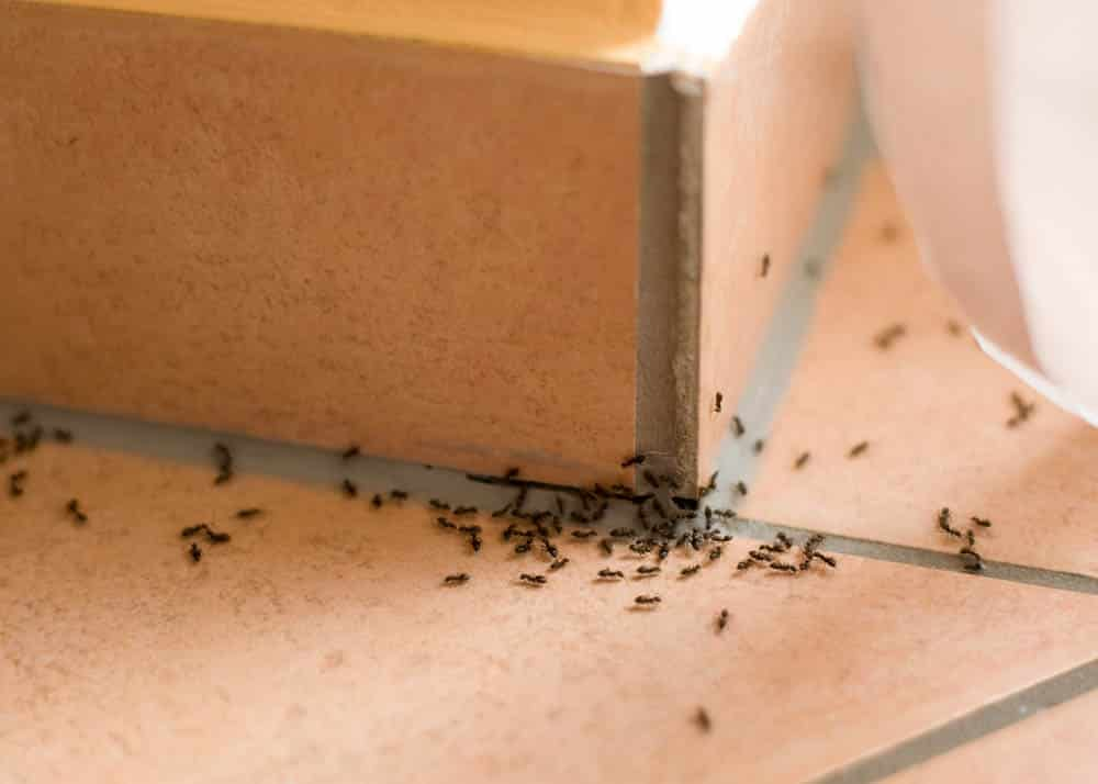 Traitement des fourmis