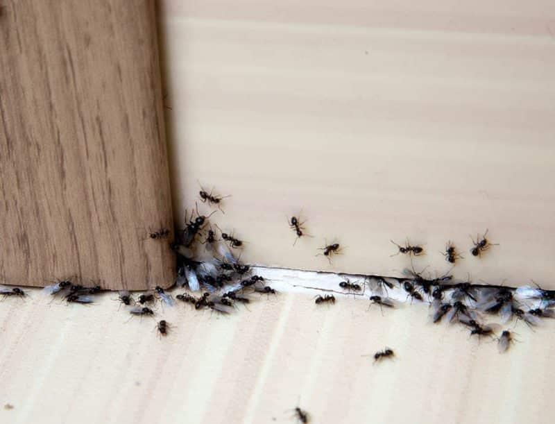 Traitement anti fourmis par application de gel biocide