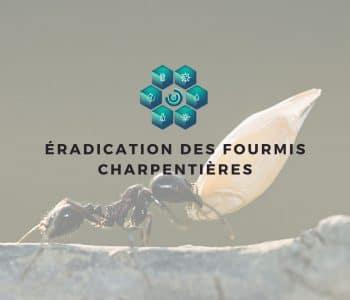 éradication fourmis charpentières