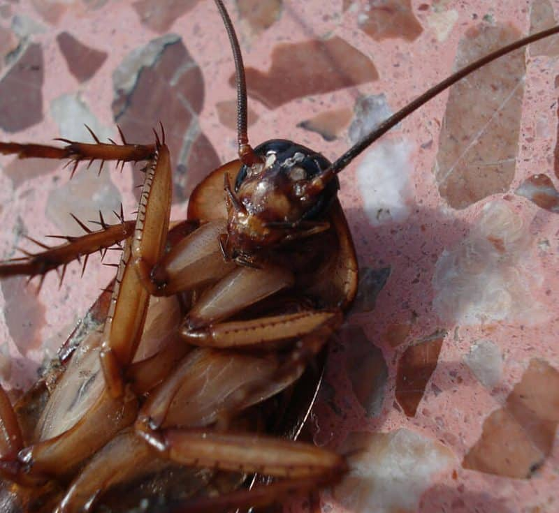 Traitement anti cafards et blattes par application de gel biocide