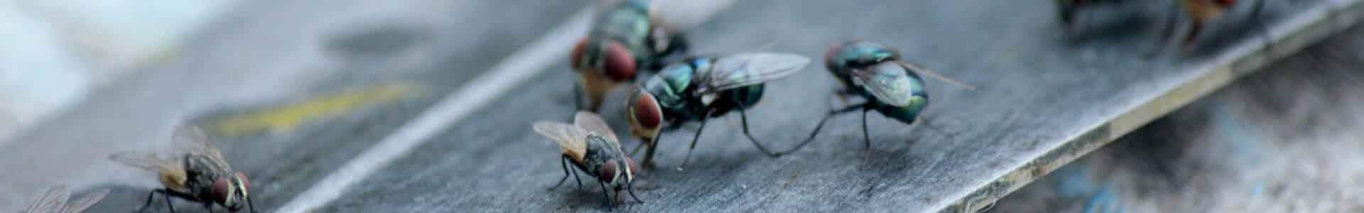 Infestation de mouches