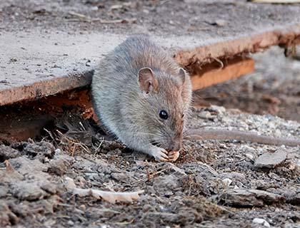 Image de rat